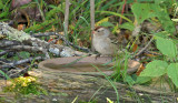 White-crowned Sparrow_1009.jpg