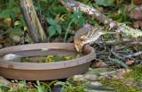 Harris's Sparrow_1230.jpg