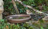 Harris's Sparrow_1233.jpg