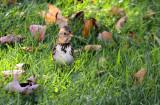 Harris's Sparrow_1115.jpg
