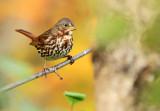 Fox Sparrow_1567.jpg