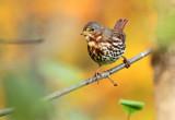 Fox Sparrow_1566.jpg