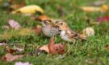 Harris's Sparrow_1552.jpg