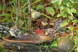 Orange-crowned Warbler_1290.jpg
