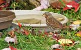 Fox Sparrow_1621.jpg