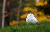Snowy Owl_2242.jpg