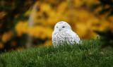 Snowy Owl_2221.jpg