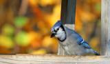Blue Jay_1859.jpg