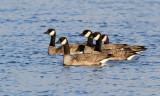 Cackling Geese_1901.jpg