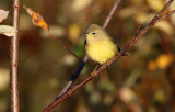 Orange-crowned Warbler_1843.jpg