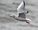 Bonaparte's Gull_2489.jpg