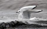 Bonaparte's Gull_2521.jpg