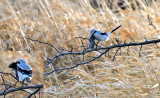 Nothern Shrike_272725 (composite).jpg
