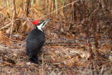 Pileated Woodpecker_3031.jpg