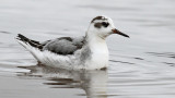 Red Phalarope_3185.jpg