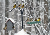 Evening Grosbeak_3675.jpg