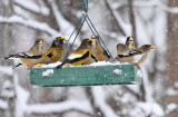 Evening Grosbeak_3674.jpg