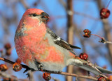 Pine Grosbeak_4060.jpg