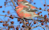 Pine Grosbeak_4036.jpg