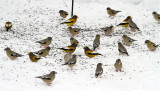 Evening Grosbeak_4083.jpg