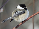 Black-capped Chickadee_5192.jpg