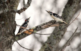 Hairy Woodpecker_5828.jpg