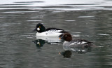 Common Goldeneye_5321.jpg