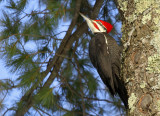 Pileated Woodpecker_4151.jpg