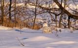 Snowy Owl_4431.jpg