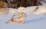 Snowy Owl_4519.jpg