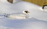Ivory Gull_6055.jpg