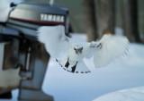 Ivory Gull_6198.jpg