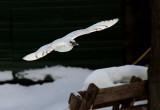 Ivory Gull_6229.jpg