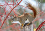 Red Squirrel_6811.jpg