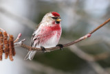 Common Redpoll_6837.jpg