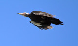 Pileated Woodpecker_7220.jpg