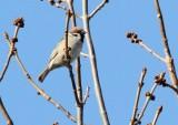 Eurasian Tree Sparrow_7817.jpg
