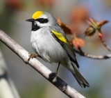Golden-winged Warbler_8207.jpg