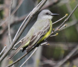 Tropical/Couch's Kingbird - May 2016