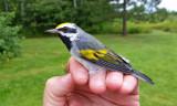 Golden-winged Warbler_410.jpg