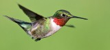 Ruby-throated Hummingbird_9623.jpg
