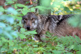 Gray Wolf_3471.jpg