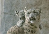 Everest - Snow Leopard Cub