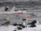 Goéland arctique - Iceland Gull