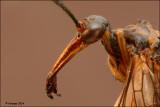 Schorpioenvlieg - Panorpidae