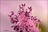 Pollen stamper: muskuskaasjeskruid - Malva moschata