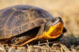 Blanding Turtle 2