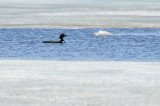 Loon in icy water