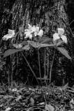 Tall Trilliums, b&w