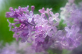 Lilac Blossoms 2